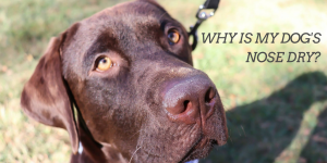 what to put on a dog's dry nose